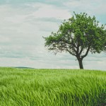 green grass and solitude tree